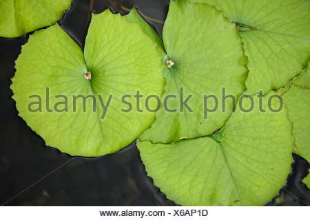 lotus de lily Leaf Banque D'Images