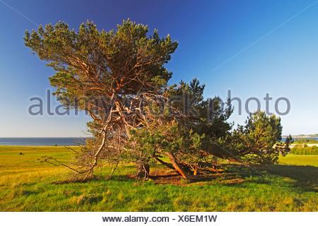 De vieux Pins sylvestres (Pinus sylvestris) dans la lumière du soir, réserve naturelle sur Moenchsgut Ruegischer et péninsule Banque D'Images