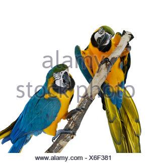 Perroquets Ara bleu Banque D'Images
