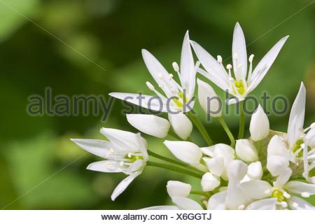 Ramsons ou l'ail des ours (Allium ursinum) close-up. Banque D'Images