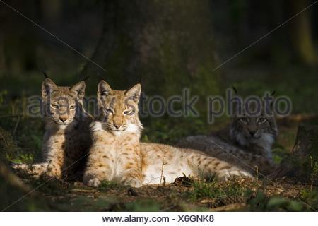 Lynx européen Banque D'Images