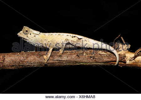 Plaqué Mâle caméléon Brookesia stumpffi (feuille) sur une branche, Ankify, Diana, Madagascar Banque D'Images