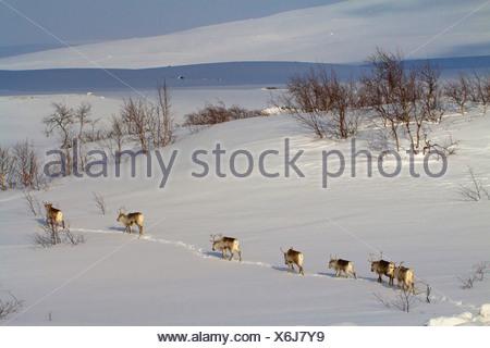 Le renne, le caribou (Rangifer tarandus), troupeau de marcher l'un derrière l'autre en paysage de neige, en Norvège, Nordland, Saltfjell Banque D'Images