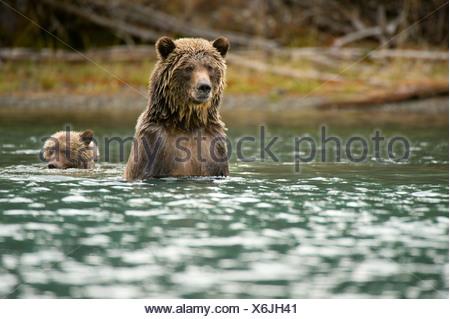 Sow cub l'Ours grizzli Ursus horribilis nager après Banque D'Images