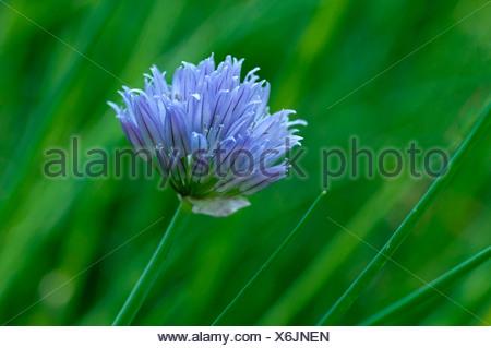 Inflorescence de la ciboulette (Allium schoenoprasum) Banque D'Images