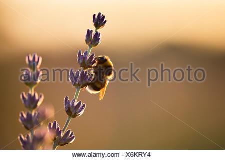 Bumblebee dans champ de lavande, île de Hvar, Croatie, Europe Banque D'Images
