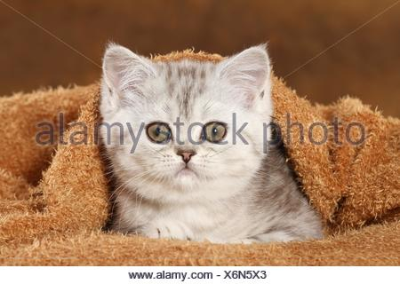 Exotic Shorthair chaton couché
