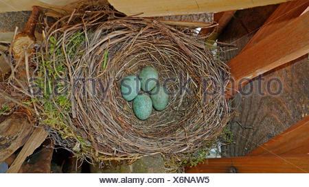 Blackbird (Turdus merula), des œufs dans un nid parmi les bois de chauffage Banque D'Images