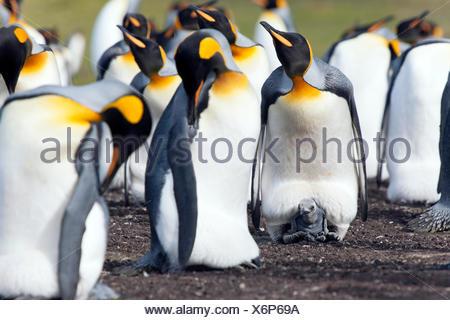 Le manchot royal (Aptenodytes patagonicus), les oiseaux adultes et chick, Volunteer Point, East Falkland, îles Malouines, l'Amérique du Sud d'Islande