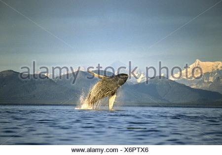 Humpback Whale breaching, Icy Straits, sud-est de l'Alaska Banque D'Images