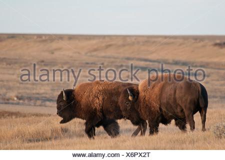 Bison des plaines (Bison bison bison) paître dans un champ, le parc national des Prairies, en Saskatchewan, Canada Banque D'Images