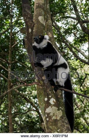 Noir et blanc de la Gélinotte Lemur (Le Varecia variegata), captive, Province de Western Cape, Afrique du Sud Banque D'Images