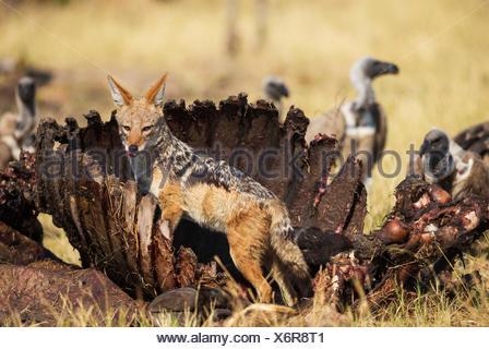 Le Chacal à dos noir (Canis mesomelas), à la carcasse d'un buffle (Syncerus caffer caffer), à l'arrière-plan une Banque D'Images