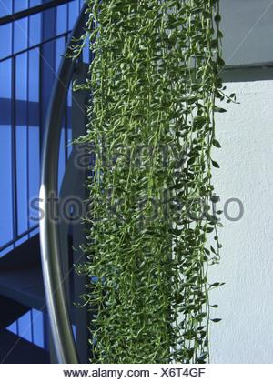 De groseille, chaîne de perles, Chaîne-de-Perles. String-de-billes, String-de-pois (Senecio herreianus), plante en pot pendaison ove Banque D'Images