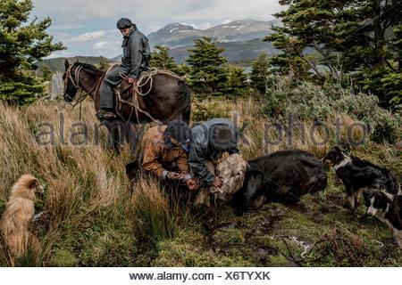 Bagualeros, cow-boys qui, de délier l'élevage sauvage capture d'un arbre, une vache vache sauvage qui a été pris et l'attacher à un cheval d'être entassés vers le bas. Banque D'Images