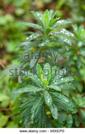 Résumé Les gouttelettes d'eau sur les feuilles Woodland Ranscombe Farm Kent UK green de gouttes de pluies Banque D'Images