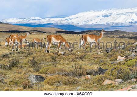 Groupe de guanacos (Lama guanicoe) dans la steppe, Parc National Torres del Paine, Patagonie chilienne, Chili