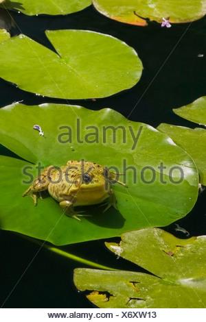 La grenouille verte (Rana clamitans) reposant sur une feuille de nénuphar sur la surface d'un étang, Laurentides, Quebec Province, Canada