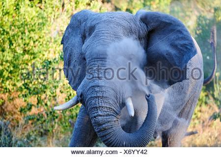 Bull l'éléphant d'oeil blessé sur la poussière de la pulvérisation afin de minimiser la gêne à la mouche (Loxodonta africana), le Parc National de Moremi, Okavango delta, Botswana,