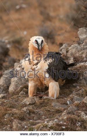 Lagermeier lic) Carrion s'alimenter à une station d'alimentation d'oiseaux nécrophages, Espagne Banque D'Images