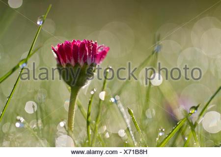 Fleur rouge commune, pelouse, Daisy Daisy (Bellis perennis) avec des gouttes de rosée dans la lumière du matin Banque D'Images
