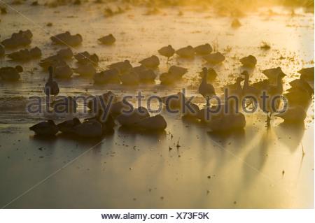 Des milliers des neiges La grue s'asseoir sur le lac après le lever du soleil au début de l'hiver gel Bosque del Apache National Wildlife Refuge Banque D'Images