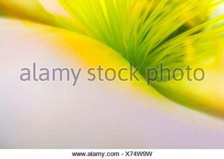 Islande jaune pavot (Papaver nudicaule), close-up