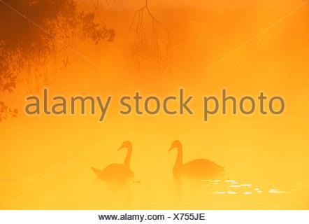 Cygne tuberculé Cygnus olor paire au lever du soleil sur le lac de Richmond Park Londres Banque D'Images
