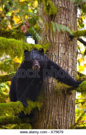 Femelle ours noir d'Amérique du Nord ou l'ours noir (Ursus americanus) en cèdre