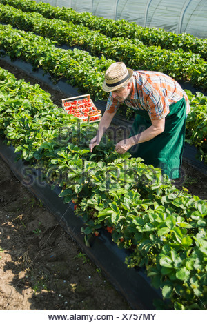 Allemagne, Hesse, Lampertheim, senior Farmer harvesting Strawberries in greenhouse Banque D'Images