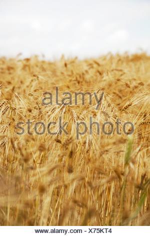 Champ de céréales, orge, Banque D'Images