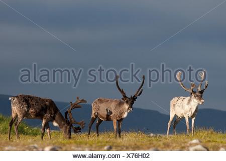 Le renne d'Europe, le caribou (Rangifer tarandus), trois des rennes dans un pré, Norvège Banque D'Images