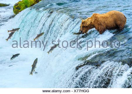 Ours brun, Ursus arctos, pêche pour le saumon à Brooks Falls. Banque D'Images