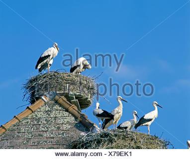 Cigogne blanche, Ciconia ciconia, paire sur son nid Banque D'Images