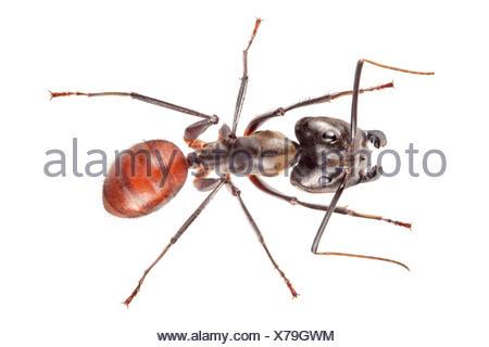 Ant des forêts géantes (Camponotus gigas) Maliau Basin, Sabah, Bornéo. Banque D'Images