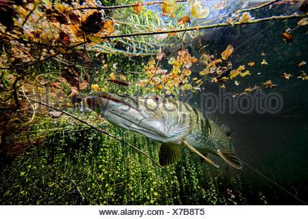 Europa; Deutschland, Bayern, Echinger Weiher, Hecht; Hecht im Flachwasser hechtartiger Raubfisch;;;;; Knochenfisch Süsswasserfisch Süsswasser | Europe Banque D'Images