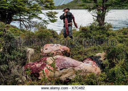 Un bagualero, un cow-boy qui, de l'élevage sauvage capture prend les filets à partir de la première des taureaux sauvages à mourir. Banque D'Images
