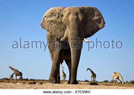Les Girafes et éléphants, Etosha National Park, Namibie Banque D'Images
