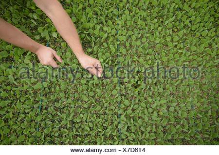 Planter les semis des agriculteurs sur l'exploitation agricole biologique, Close up Banque D'Images