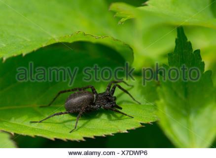 Wolf Spider, Spider au sol (Pardosa spec.), sur une feuille, Allemagne, Bavière, Oberbayern, Haute-Bavière Banque D'Images