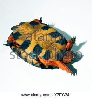 Close-up de la tortue à l'envers Banque D'Images