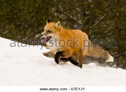 Le renard roux (Vulpes vulpes) s'exécutant dans un champ couvert de neige Banque D'Images