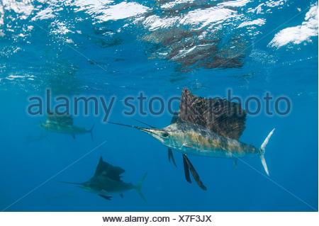 Voilier (Istiophorus albicans) sardines de chasse, au large de la péninsule du Yucatan, Mexique, la mer des Caraïbes. Banque D'Images