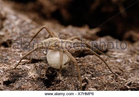 Pêche fantastique avec araignée Pisaura mirabilis / cocoon Banque D'Images