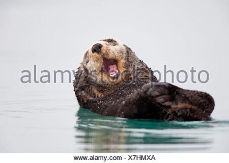 Loutre de mer qui flotte sur l'arrière de la tête et de se gratter le bâillement, Prince William Sound, Southcentral Alaska, Winter Banque D'Images