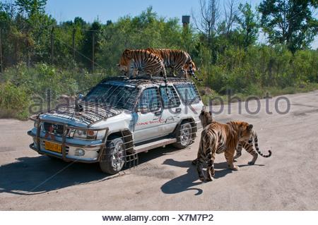 Tigres de Sibérie (Panthera tigris altaica), Siberian Tiger Park, Harbin, Heilongjiang, Chine, Asie Banque D'Images