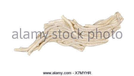 Ficopomatus enigmaticus Banque D'Images