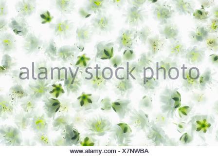 Gypsophila paniculata 'Blancanieves', à capitules simples combinés dans une petite zone pour créer un tapis de fleurs blanc vert. Banque D'Images