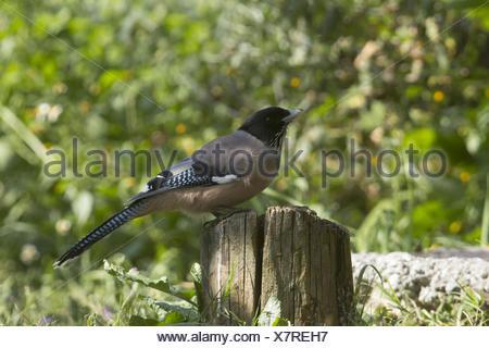 À tête noire, Jay garrulus lanceolatus, sattal, uttarakhand, Inde Banque D'Images