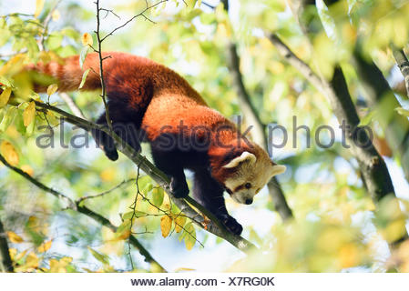 Petit panda, le panda rouge (Ailurus fulgens), escalade sur une branche Banque D'Images